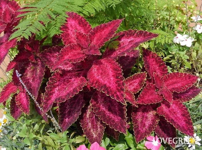 コリウスは、ダークな赤色から爽やかなライム色、赤の斑入り、黄色の斑入りなど様々な葉色が楽しめるカラーリーフ。品種が多く、葉の大きさも草丈も品種によって異なります。小さな寄せ植えを作るときは、葉が小さくてあまり背も高くならないタイプを使うと管理がしやすいです。