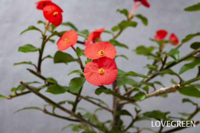 ハナキリン(花麒麟)の花は好きだけど、トゲがちょっとな……。という方におすすめなのがトゲナシハナキリン(刺なし花麒麟)です。
