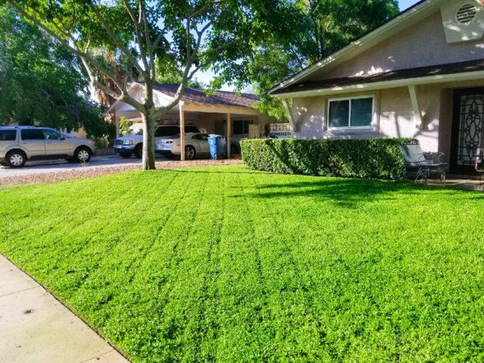 刈り込み頻度の調整で、好みの庭をデザインできるクラピア