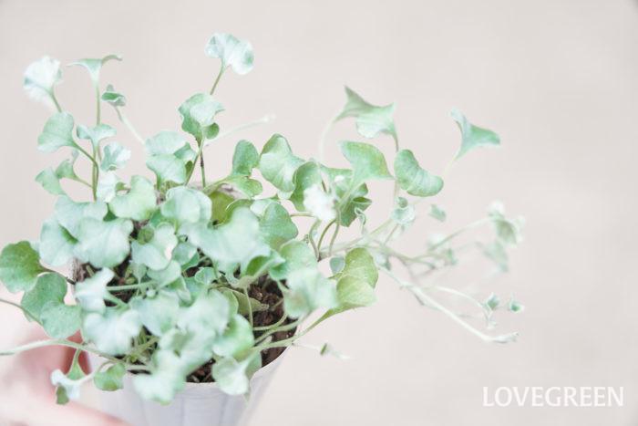 ディコンドラの葉は小さなハート型で、横に広がって這うように生長します。ディコンドラには緑葉のミクランサ種と、銀白葉のアルゲンテア種がありますが、寄せ植えにおすすめなのは銀白色のタイプです。緑葉と銀白葉では日当たりの具合など好む環境が異なります。今回は、銀白葉のディコンドラについてお話しします。  ディコンドラは葉の表面が細かい毛に覆われていて銀色に輝き、寄せ植えに使うとエレガントな優しい雰囲気をプラスできます。寒さにそれほど強くないので、春から秋の寄せ植えに使います。葉を付けた状態で冬越しするには-1℃以上の気温が必要です。関東以南の地域であれば一時的に地上部が枯れることがありますが根は生きていて、春には再び芽吹きます。  ディコンドラは乾燥した日なたの環境を好みます。若干、蒸れに弱く葉が傷みやすいので乾かし気味に管理すると状態良く育ちます。