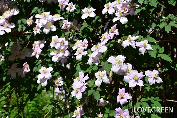 クレマチスは系統、品種がたくさんある植物。系統によって、「開花時期」「常緑・落葉」、「つる性・木立性」、「伸びる丈」も様々です。ほとんどの品種は絡みつくようにして生長します。  伸びるタイプのものはフェンスやアーチ、トレリス、ラティスに。伸びないタイプは寄せ植えやハンギングでつるの流れを楽しむなど、様々なシーンに活用できます。  写真はクレマチス・モンタナ。環境に合うと10m以上伸びる、早春に咲くクレマチスです。