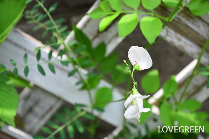 スワインソナはオーストラリア原産の落葉つる性植物です。日本で流通しているのは「ホワイトスワン」という白い花の品種です。春から初冬くらいまでと長期間、スイートピーに似た花を咲かせます。耐寒性は0℃くらいまでなので、関東以南くらいまでなら地植えにできます。繊細な葉も美しいつる性植物です。