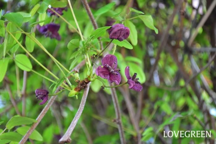 アケビは日本の山野に自生する落葉つる性植物です。アケビは1本では結実しにくいという特徴があるため、実をつけるためには複数の品種が必要ですが、花や葉を楽しむ目的で庭の植栽としても用いられるようになっています。