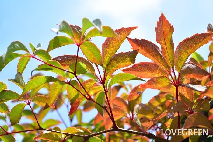 ヒメヅタはヘンリーヅタを一回り小さくしたような落葉つる性植物です。フェンスなどに絡まりながら生長していきます。初夏に小さな花が咲いた後、秋に黒っぽい実がなります。紅葉も美しく四季の変化を感じられる植物です。