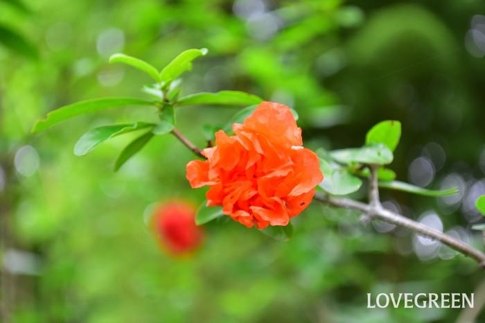 朱赤の八重のザクロ。花ザクロは赤系の他、白花もあります。