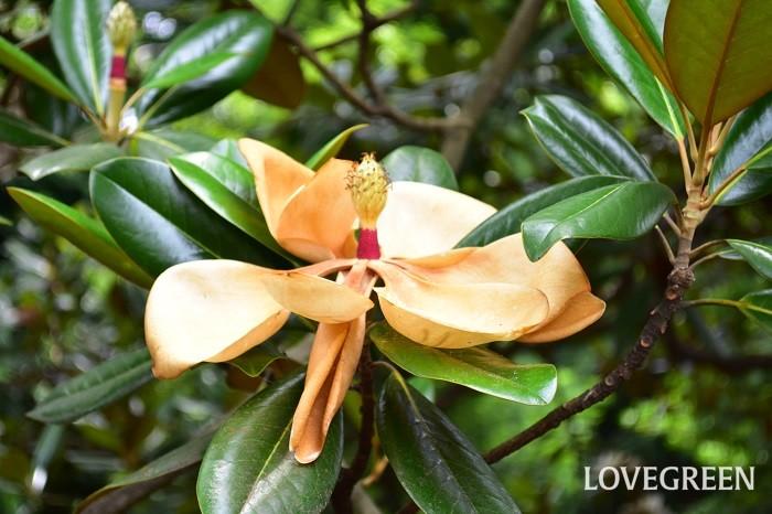 花の見頃が過ぎたタイサンボク。花びらが落ちて、このあと中心部分が実になって種をつけます。