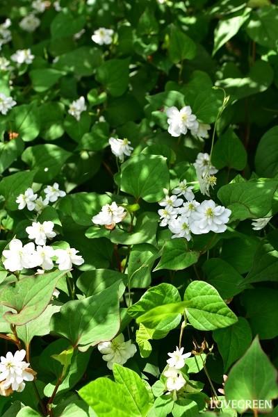 一面に広がった八重咲きのドクダミ。ドクダミはグランドカバーとしても優秀です。また、生けて楽しむこともできます。
