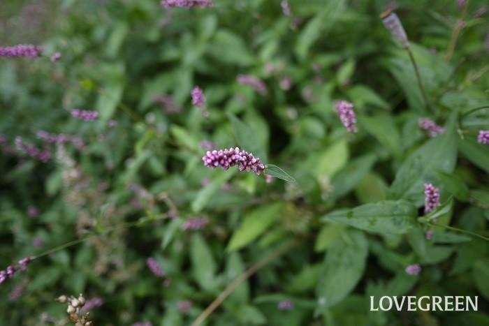 イヌタデ 花期:5月~9月 分類:一年草 増え方:種 イヌタデはタデ科の一年草です。草丈低く、ピンクの小さな花を咲かせます。人が踏み入るような場所ではあまり群生しません。