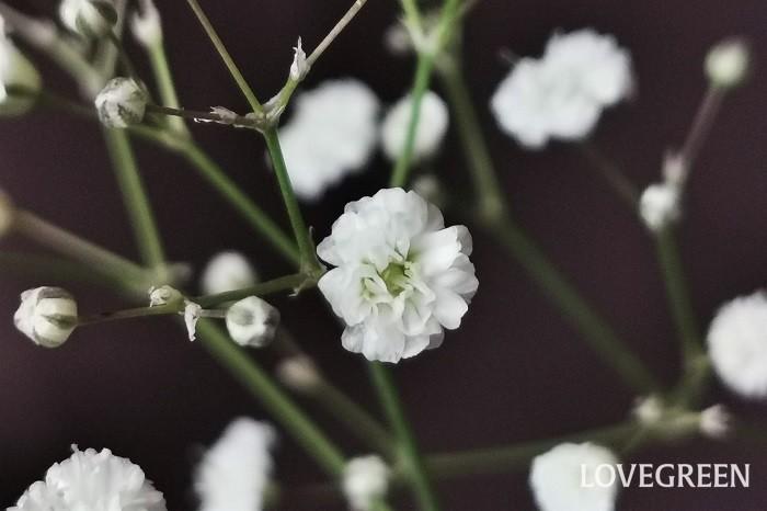 学名:Gypsophila elegans(カスミソウ)、Gypsophila paniculata(シュッコンカスミソウ) 科名・属名:ナデシコ科カスミソウ(ギプソフィラ)属 分類:一年草、多年草 かすみ草の特徴 かすみ草には大きく分けて2種類あります。花壇などに植えて育てられるかすみ草は、一年草のGypsophila elegans(カスミソウ)の改良品種、切り花として人気があるのは多年草のGypsophila paniculata(シュッコンカスミソウ)です。  かすみ草は1本の茎に幾千という数の花を咲かせます。宙に浮くように無数の花を咲かせる姿が霞のように美しいことからかすみ草の名が付いたと言われています。  学名のGypsophilaは、ギリシャ語のgypsos(石灰)とphilos(好む)から名付けられたとされています。理由はかすみ草の中のいくつかの種類が石灰質の土地に自生するからだそうです。