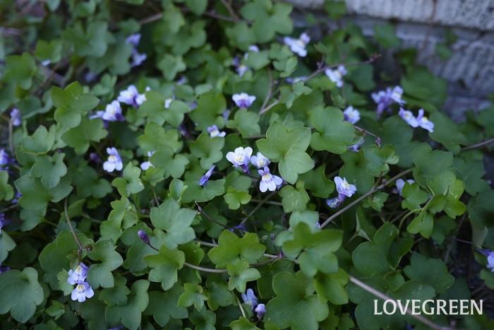 ツタバウンラン 花期:4月~7月 分類:多年草 増え方:種 ツタバウンランはオオバコ科の多年草です。地面の上を這うように伸びていきます。