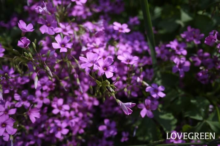 イモカタバミ 花期:4月~7月 分類:多年草 増え方:球根 イモカタバミはカタバミ科の多年草です。元は園芸用植物として海外より渡来した帰化植物です。