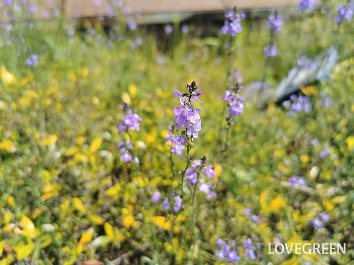 マツバウンラン 花期:3月~4月 分類:一年草 増え方:種 マツバウンランはゴマノハグサ科の一年草です。すっと伸びた茎に縦に連なるように淡い紫色の小さな花を咲かせます。群生する姿が美しい草花です。