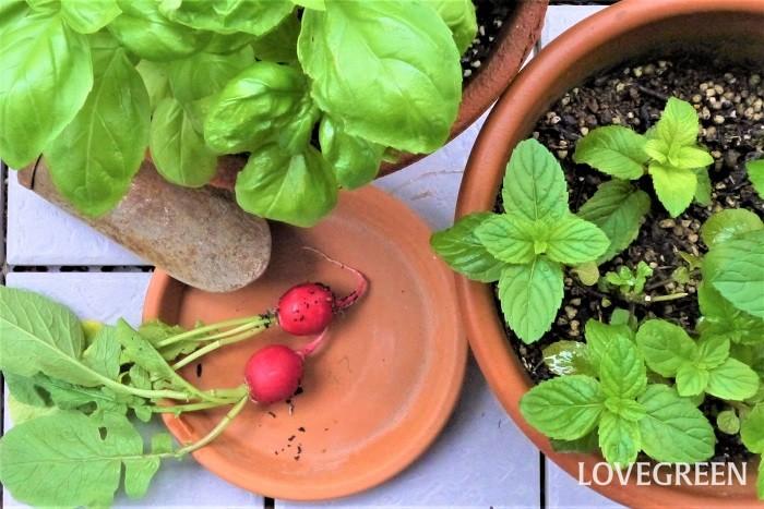 植える時期 夏野菜を植える時期は春以降です。詳しい植え付け時期はそれぞれの野菜によりますが、寒さに弱い品種がほとんどです。寒い時期に植えることのないようにしましょう。  用土 夏野菜は水はけ、保水性共に良い用土に植え付けましょう。市販の野菜用培養土で問題なく育てられます。  水やり 夏野菜の水やりは、表土が乾いて白っぽくなったらたっぷりと与えます。  夏の水やりの注意点は早朝か夕方気温が下がってから行うようにします。日中の水やりは土の中で水分温度が上がり、根を傷める原因となります。  トマトのように水を吸い過ぎると実が割れてしまう野菜もあるので、水やりの頻度は育てている種類に合わせて調整してください。  病害虫対策 乾燥が続くとハダニが発生しやすくなります。また、水のやり過ぎは根腐れを起こす心配もあります。注意しましょう。また、夏はネキリムシやカメムシなどが発生しやすくなる季節です。こまめに苗を観察して見つけ次第捕殺してください。  日当たり 夏野菜をおいしくするのは何と言っても光合成。日当たりの良い場所で管理すること、それから水やりを忘れないようにすることが大切です。