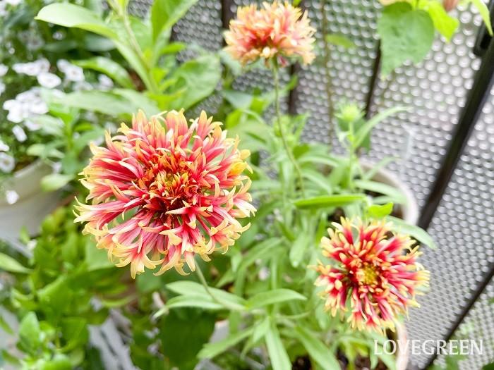 ガイラルディアには、このような変わり咲き品種もあります。八重咲きの個性的な形と色のグラデーションが魅力的です。