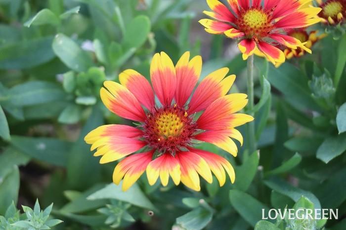 ガイラルディアは6月~10月頃、赤、黄色、オレンジ、複色などの花を咲かせます。品種によって一年草のものと多年草の品種があります。品種によっての花丈も様々で、矮性から高性まであります。暑さに負けずたくさんの花を咲かせる丈夫な花です。