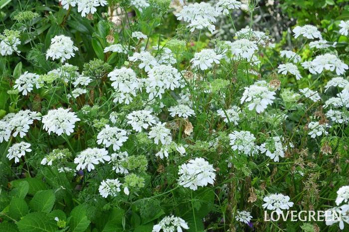 レースのような繊細な花は、様々な色合いの植物と調和して、庭や花壇の中で活躍してくれます。鉢植えでも育てることは可能ですが、背丈が高くなるので庭や花壇に群生させると美しさが際立ちます。