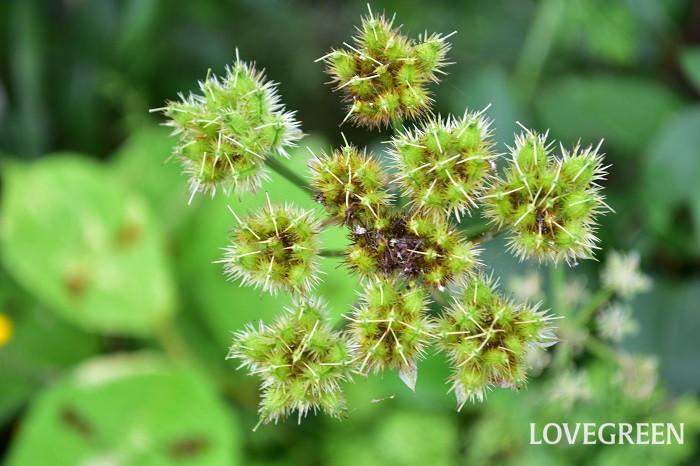 このオルレア、とても性質が強く、環境を気に入るとこぼれ種で増えていきます。花の繊細さとうって変わって、イガイガした種のフォルムはとてもユニーク。初夏のガーデンに行ったら、花だけでなく種にもご注目ください。