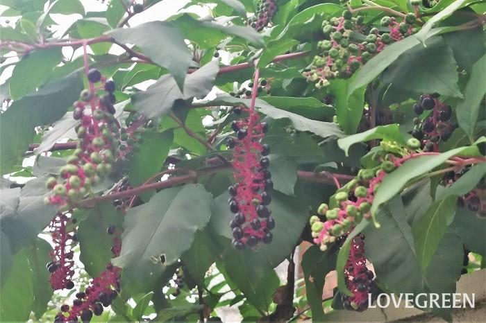 ヨウシュヤマゴボウ 観賞期:9月~11月 分類:多年草 増え方:種 ヨウシュヤマゴボウはヤマゴボウ科の多年草です。食用になるヤマゴボウとは別種であり、全草に毒があるので口に入れないように気を付けましょう。秋に真黒に熟す果実はブドウのようで可愛らしく、生花としても人気があります。