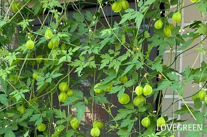 フウセンカズラは一年草のつる性植物。毎年種から育てている方も多いのでは。フウセンカズラは巻きひげを出して生長していくので、ネットやトレリスなど這わせる何かを用意します。優し気で繊細な葉が美しく、グリーンカーテンの素材として人気があります。白い花が咲いた後にフウセンのようなかわいい実をつけます。上に上に伸びていくので、時々横方向に誘因してやると、きれいなグリーンカーテンに仕上がります。茎が細く扱いので誘因が楽です。
