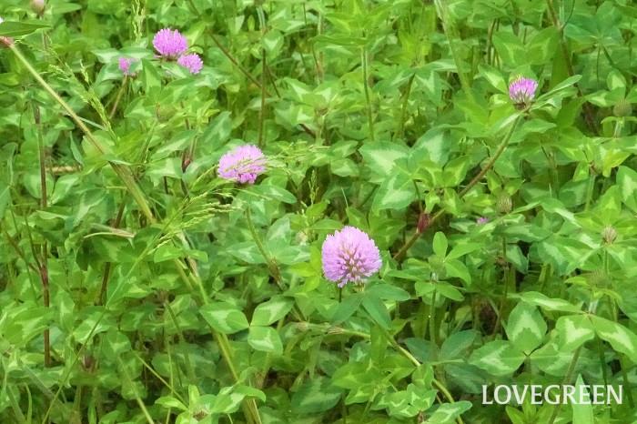 アカツメクサ(ムラサキツメクサ) 花期:4月~7月 分類:多年草 増え方:種 アカツメクサはマメ科シャジクソウ属の多年草です。シロツメクサと混同されがちですが、シロツメクサより花も草丈も大きいので見分けが付きます。