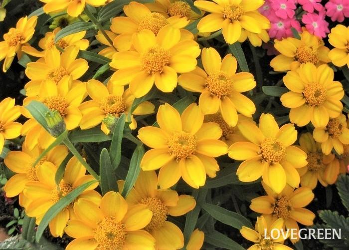 ジニアには、背が高いもの、低めのもの、一重咲き、八重咲き、ダリア咲き、ポンポン咲きと様々な品種があります。小さい寄せ植えには背が低いタイプ、鉢が大きくて高さがある場合は背が高いタイプを使うとバランスがとりやすいです。