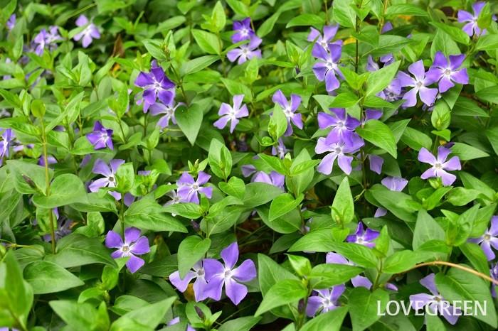 ツルニチニチソウは這うように生長するのでグランドカバーとしておすすめの多年草のつる性植物。春に淡い紫色の花が地面一面に開花する光景は素敵です。緑葉の他、斑入り種もあります。また、花や葉が小さいヒメツルニチニチソウもあります。ヒメツルニチニチソウは花の色が紫の他、ダークカラーや白などもあります。