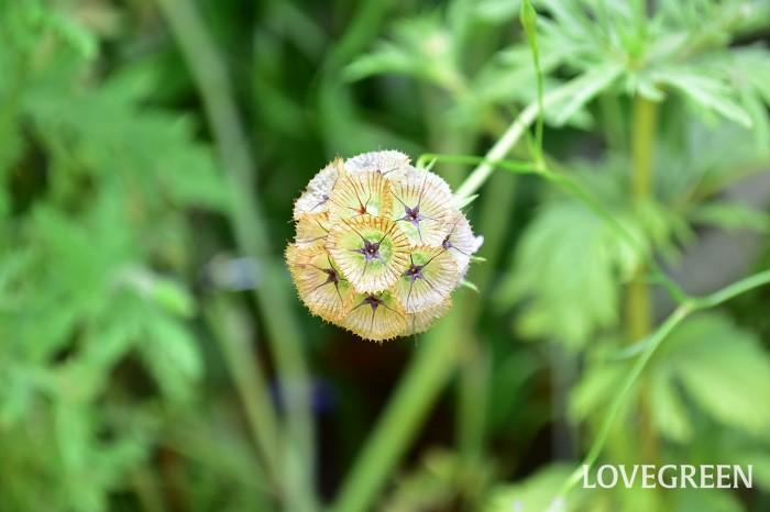 すべての花びらが落ちた状態。サッカーボールような見た目、サイズはゴルフボールより少し小さいくらいの種の集合体になります。星のような柄もかわいい。  この種の状態で切り花として流通していて、切り花では「ステルンクーゲル」という名前がついていることが多いです。触感がカサカサしていて簡単にドライフラワーになり、生花としてもドライフラワーとしても、とても長持ちする花材です。どちらかというと苗より切り花としての流通量が多い花です。