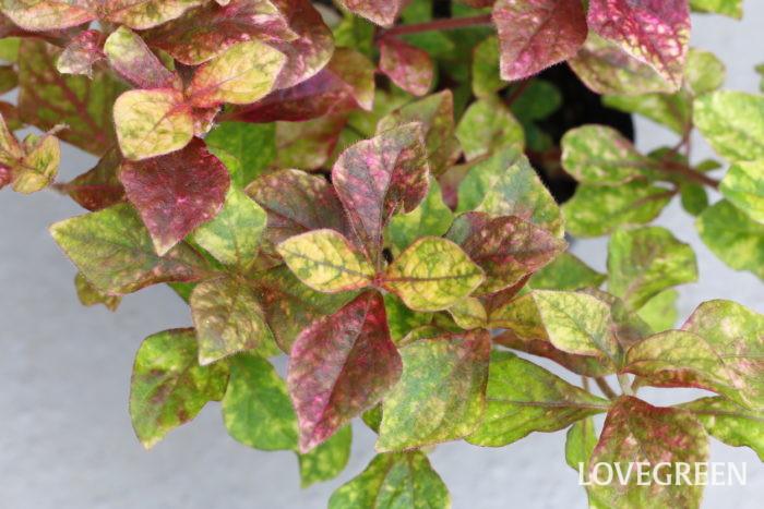 アルテルナンテラ・マーブルクイーン  アルテルナンテラは、原産が亜熱帯~熱帯の植物なので暑さに強く日当たりを好みます。日光が足りないと、葉色が薄くなったりきれいな色が出にくくなります。日当たりと風通しが良い場所で育てましょう。  アルテルナンテラは秋に小さな花を咲かせますが、寒さに弱いので日本では木枯らしが吹く頃までの一年草扱いとされ、花を楽しむというよりもカラーリーフプランツとして親しまれています。本来は多年草なので、寒くなる前に室内に取り込めば越冬できます。  アルテルナンテラ・マーブルクイーンは、紫、黄、グリーンなど様々な色がマーブル模様になった葉が特徴的なタイプ。日の当たり具合や気温によって色合いが変わり、独特な模様が変化していく姿が魅力です。