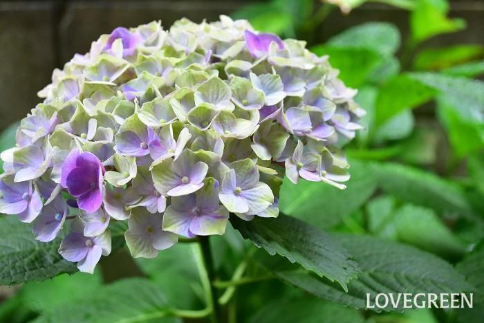 鉢植えのアジサイは限られた土の中で生きています。来年も美しい花を咲かせるための養分を株に回すためにも、花が終わったら早めに剪定することがとても大切です。剪定の時期は花の終わりの7月頃ですが、植え替えはいつ購入した鉢なのかによって変えるとよいでしょう。