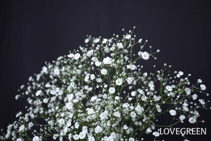 カスミソウ・コベントガーデンマーケット 学名:Gypsophila elegans cv.Covent Garden Market 分類:耐寒性一年草 花色:白 カスミソウ・コベントガーデンマーケットは、Gypsophila elegans(カスミソウ)の園芸品種です。花は一重咲きで、色は白、可憐な印象の品種です。  アカバナカスミソウ・ニュークリムゾン 学名:Gypsophila elegans var.carminea cv.New Crimson 分類:耐寒性一年草 花色:ピンク アカバナカスミソウ・ニュークリムゾンはGypsophila elegans(カスミソウ)の園芸品種です。花は一重咲きで、ピンクに近い赤い花を咲かせます。群れるように咲く様子が美しい品種です。  シュッコンカスミソウ・ブリストルフェアリー 学名:Gypsophila paniculata cv. Bristol Fairy 分類:耐寒性多年草 花色:白 シュッコンカスミソウ・ブリストルフェアリーはGypsophila paniculata(シュッコンカスミソウ)の園芸品種です。花は八重咲きで、色は白、たくさんの小花を名前の通り霞のように咲かせます。  シュッコンカスミソウ・レッドシー 学名:Gypsophila paniculata cv.Red Sea 分類:耐寒性多年草 花色:ピンク シュッコンカスミソウ・レッドシーはGypsophila paniculata(シュッコンカスミソウ)の園芸品種です。花は八重咲き、花色はピンクです。花の中心に近づくにつれて色が濃くなります。
