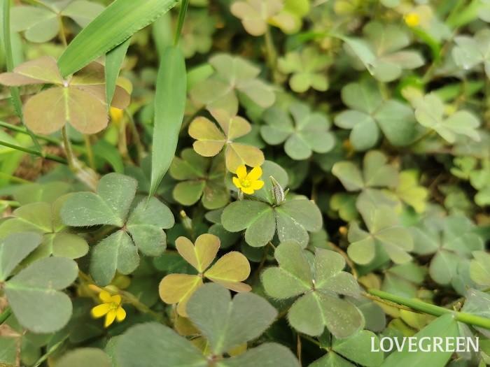 カタバミ 花期:4月~9月 分類:多年草 増え方:種 カタバミはカタバミ科の多年草です。草丈低く5cm程度、花は黄色で直径1cmに満たないくらい小ぶりです。花後にできる果実は、刺激を受けるとサヤが弾けて四方に種子が飛び散ります。