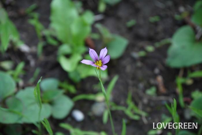 ニワゼキショウ 花期:4月~5月 分類:一年草 増え方:種 ニワゼキショウはアヤメ科の一年草です。明るい赤紫、あるいは白の花を咲かせます。花の直径は1cm程度、草丈も10cmと小さな草花です。