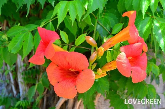 ノウゼンカズラは中国原産の落葉つる性植物。つるから気根を出して樹木や壁に這いながら生長し、7~8月に橙色の花を咲かせます。花色はオレンジ、黄色、赤などがあります。大輪でとても華やか。樹勢が強く丈夫です。10m近く伸びることもあるので広いスペース向きです。