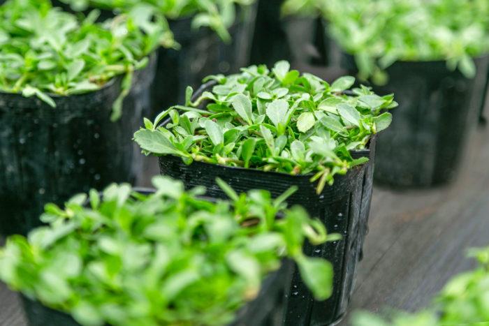 ポット苗を植え付けて家庭でも簡単にグリーンカーペットがつくれるクラピア