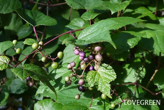 ノブドウ 観賞期:9月~11月 分類:落葉低木 増え方:種 ノブドウはブドウ科の落葉低木です。木に絡みついて生長します。秋には青から紫がかった美しい実を付けます。この実の色は虫こぶによるもので、虫こぶができていない実は白っぽいグリーンというのもおもしろい特徴です。