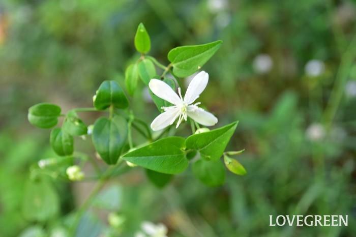 センニンソウは、日本や中国などに自生する原種のクレマチス。暖地では常緑ですが、寒冷地だと落葉する場合もあります。花の開花は夏から秋。小輪多花性で、白い小さな花が無数に開花します。生長力が旺盛で壁一面に白い花が無数に開花している様は圧巻です。その特徴からフェンス、アーチ、トレリスなどに這わせるクレマチスとして人気です。