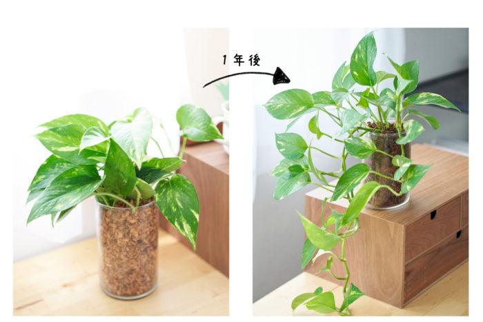 ベラボン・プレミアムを使って観葉植物を1年育てた結果!