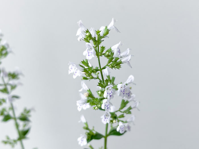 花の長さは1.5cmほど。白色~薄紫色の可憐な花を咲かせます。