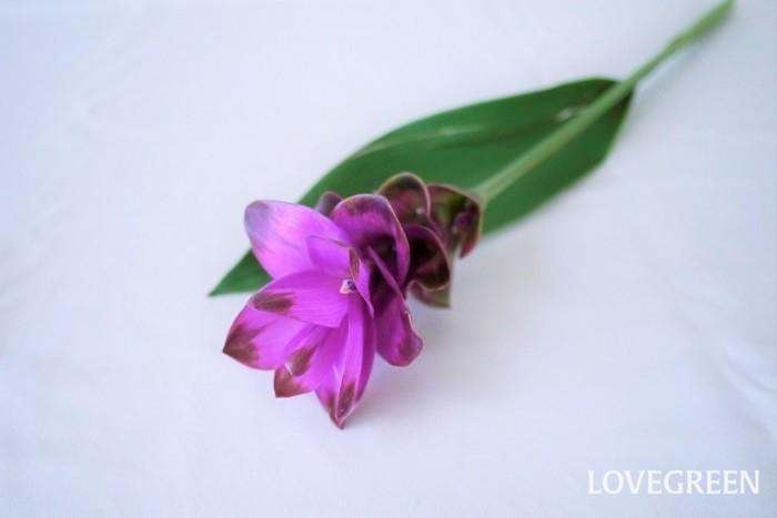 クルクマはウコンの仲間の球根植物です。瑞々しい葉茎とガラス細工のような花が印象的です。クルクマもとても長持ちする花です。クルクマは少なめの水で生けたほうが長持ちします。
