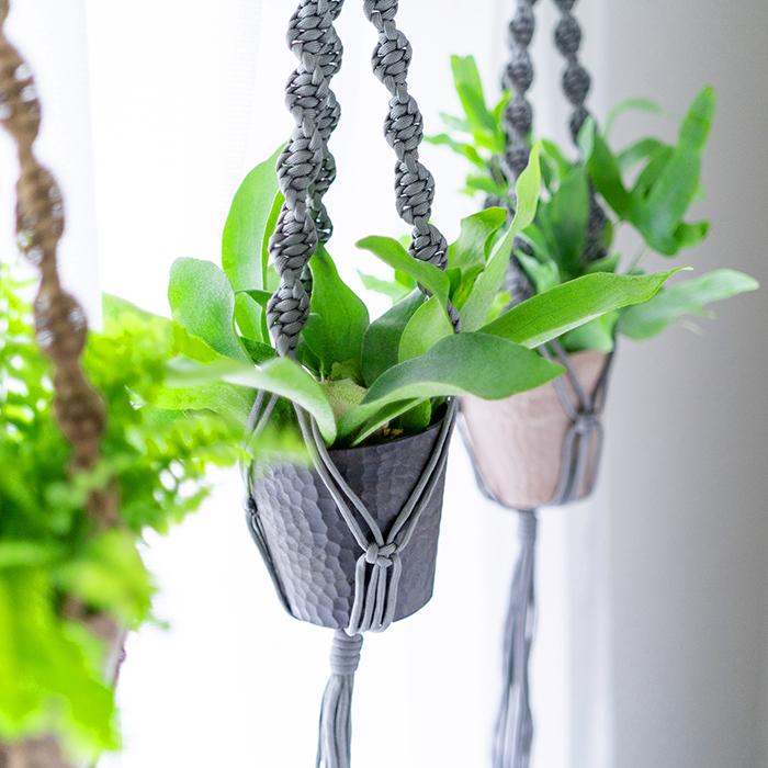 生長してくると葉が大きくなるので、吊るしてハンギングにして飾りながら育てるのがおすすめです。
