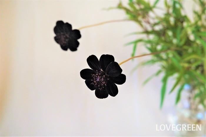 チョコレートコスモスは少しの手間をかけることでたくさんの花を楽しめるようになります。チョコレートコスモスを長くたくさん咲かせるコツを紹介します。  切り戻し・摘心の方法 四季咲きのチョコレートコスモスは、春の開花が終わった後、株全体を10~20cm程度まで切り戻します。摘心を兼ねて切り戻しを行うことで枝が分岐し、秋にたくさんの花を楽しめるようになります。  一季咲きのチョコレートコスモスも夏に切り戻しを行うことで、草丈をコンパクトにまとめられる上に分岐させて花数を増やすことができます。  この時あまり下の方まで切り詰めないようにしてください。花芽が上がらなくなってしまいます。目安は葉がある辺りまでです。  倒れる? チョコレートコスモスは華奢な草姿が美しい植物。伸びすぎると自分を支えきれずに倒れてしまうことがあります。美しい草姿を保つためにも切り戻しを行うようにしましょう。  花がら摘み 花が終わったら花茎の付け根からカットするようにしましょう。次の花が咲きやすくなります。また枯れた花をこまめに摘み取ることで、病害虫の予防になります。  冬越しの方法 秋になりチョコレートコスモスの地上部が枯れてきたら、10cmくらいを残して切り詰めます。冬の間は霜が当たらないようにし、鉢植えは根が枯れないようにときどき水やりをしましょう。
