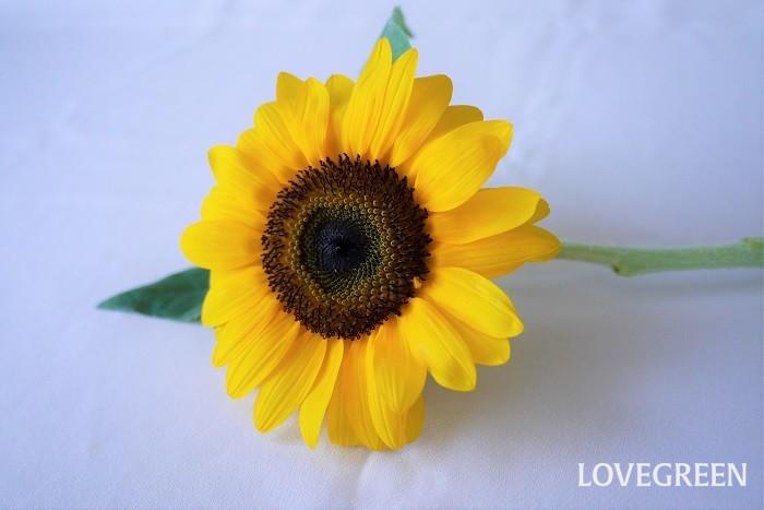 夏を代表するような花、ヒマワリ。暑い盛りに大輪の花を咲かせるヒマワリは夏に長持ちする切花の一つです。ヒマワリを生ける時は下の方の余計な葉を取り除き、水の量を少なめにしましょう。