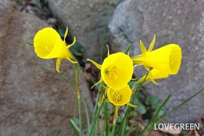 開花期:1月~4月 分類:多年草(球根植物) 水仙(スイセン)はまだ寒い初春から春まで香りのよい花を咲かせる球根植物です。大した手間をかけなくても分球して毎年花を咲かせてくれます。