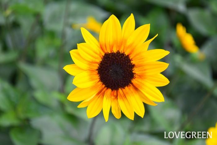 ひまわり(向日葵)の花言葉