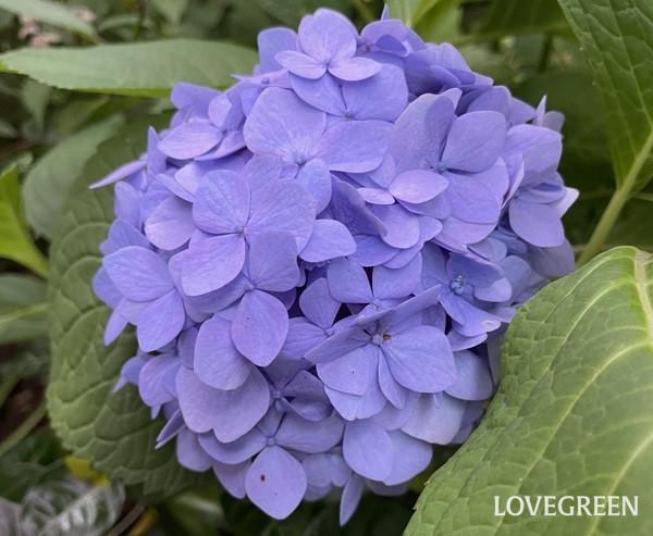 こちらも霧島の恵。ポット苗の状態で2苗購入して、1苗は知り合いにあげたのですが、花の色は青だったそう。アジサイは土の酸度によって色が変わります。酸性に傾いていると青、アルカリ性に傾いているとピンクになり、咲いた花色によってだいたいの酸度がわかります。色の好みのある方は土の酸度を調整するとよいですね。最近はアジサイの色別の土も販売されています。
