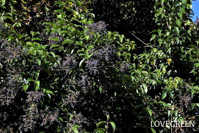 花期:5月~6月 樹高:3~5m ネズミモチは光沢のある濃いグリーンの葉が美しい常緑中高木。初夏に香りの良い白い花を咲かせ、秋から冬に黒い果実を実らせます。