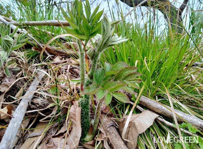 うど(独活)は、ウコギ科タラノキ属の耐寒性多年草。食用にするのは主に、春~初夏に芽吹いた新芽、茎や葉の部分です。大木になってしまったものは、茎が固くて美味しくありません。育ちすぎてしまったものは、先端の若い芽や茎、柔らかい葉や蕾、花を食べることができます。  うど(独活)は大木になると食べることができず、高さは約2メートルまでも大きくなるのに、建築材料にするには弱くて使えない植物。「うど(独活)の大木」という言葉がありますが、そんなうど(独活)を人間に喩え、「体ばかり大きくて役立たずな者」を意味するようになったそうです。  うど(独活)は栽培することもできるのでスーパーなどでも購入できます。ただ、栽培ものは遮光して作られる「軟白独活(白うど)」が多く、野山に自生して山菜として好まれる山うど(山独活)は、東京のスーパーでは見かけません。