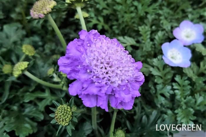 花期:3~5月、四季咲き 分類:多年草 春に薄紫色の可愛らしい花を咲かせるスカビオサは、淡い紫色の直径3~4㎝くらいの花を咲かせます。湿気や蒸れに弱いので、庭植えにするなら風通しの良い場所が向いています。