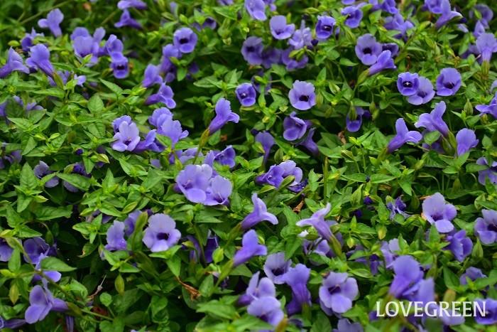 8月に咲く花・トレニア