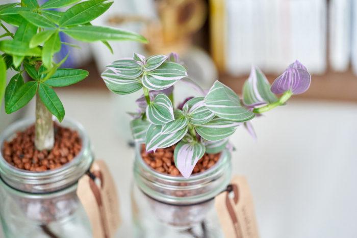 葉がキラキラして光沢があり、ピンクの斑がかわいらしい観葉植物トラディスカンチア。暑さにも寒さにも強い植物のため初心者の方にもおすすめの観葉植物です。